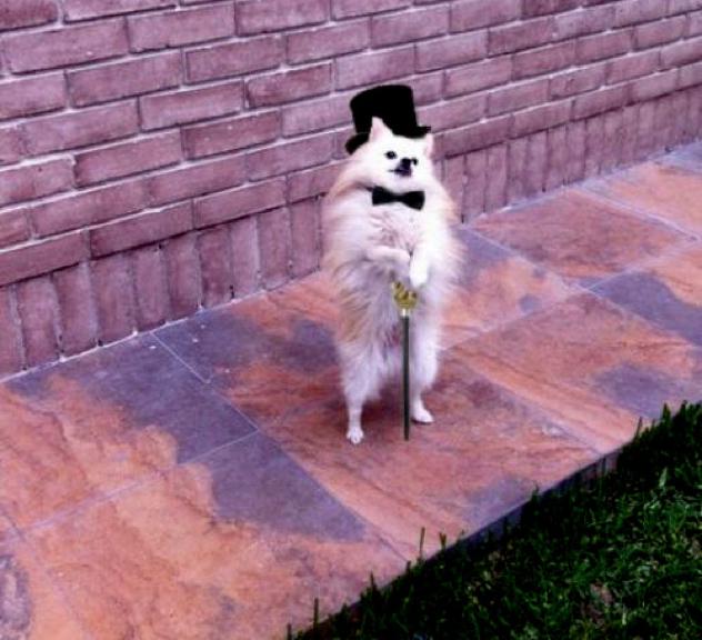Dapper-Dog