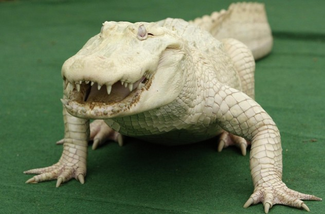 A rare white albino alligator is seen during photocall at the Serengeti Safari park in the northern German village of Hodenhagen