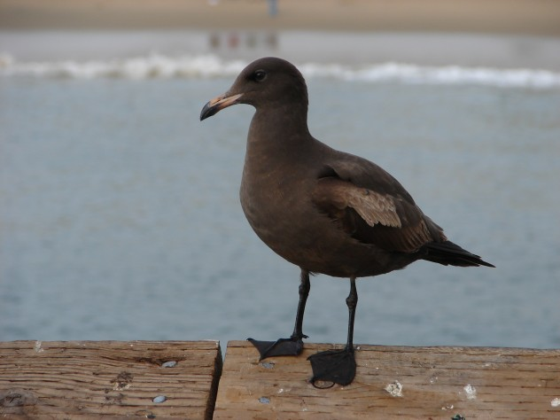 blackgull