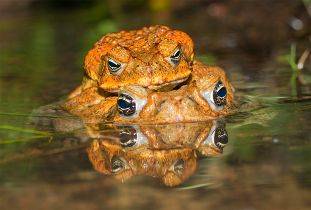 7- cane toad