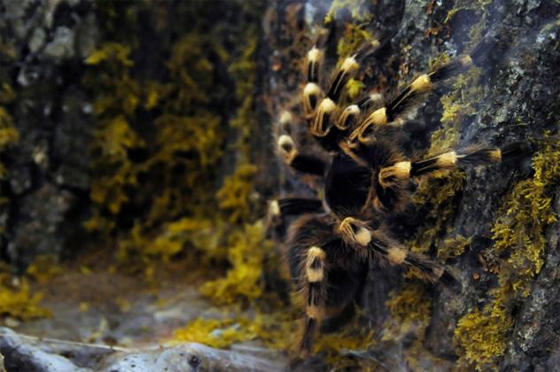 1- tarantula