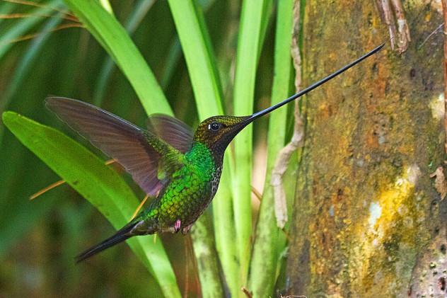 800px-Sword-billed_Hummingbird