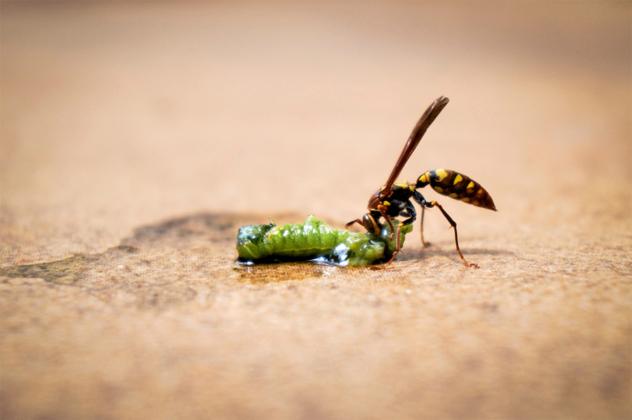 7- wasp