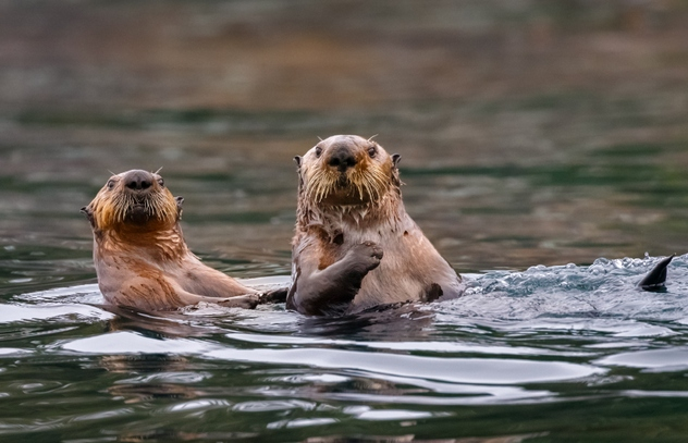 Sea Otters , British Columbia