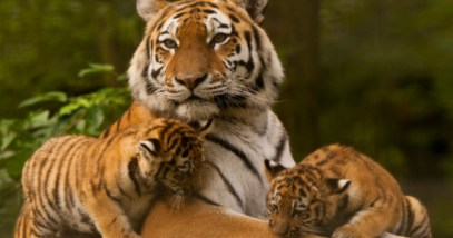 feature-9-siberian-tigers_000043768362_Small