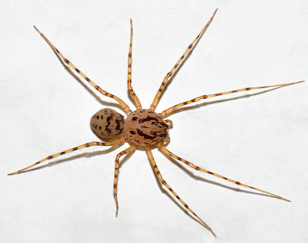 5-spitting-spider