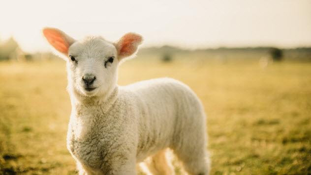 9-lamb_89673473_SMALL