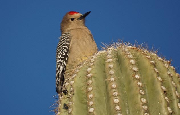 4-gila-woodpecker