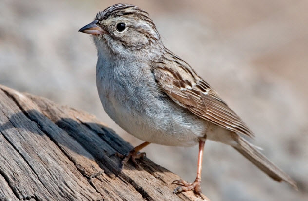 8-brewers-sparrow