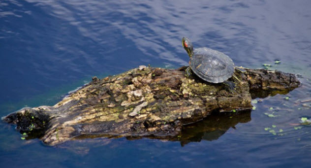 10-jump-dispersal-turtle
