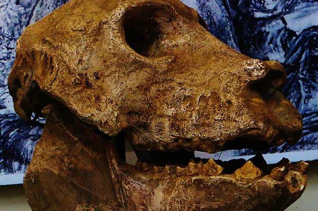 8- Archaeoindris