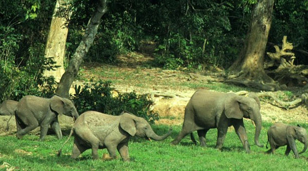 4-liberian-forest-elephants
