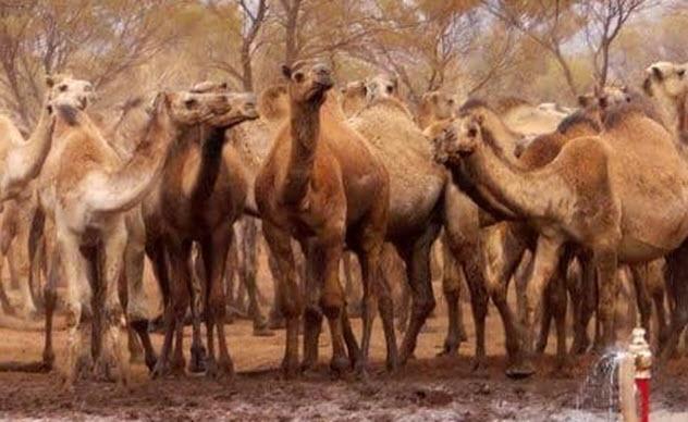 8-feral-camels