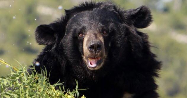 9-black-bear-siberia