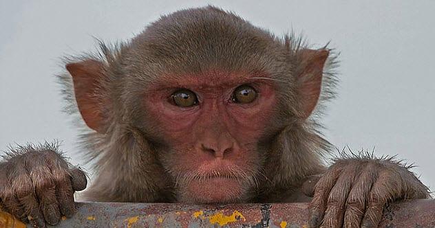 2-rhesus-monkey