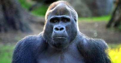 feature-gorilla