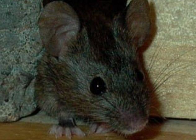 2-german-super-mouse
