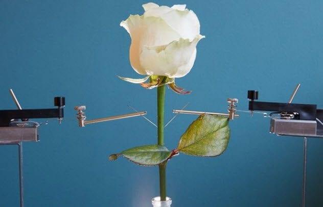 5-cyborg-rose