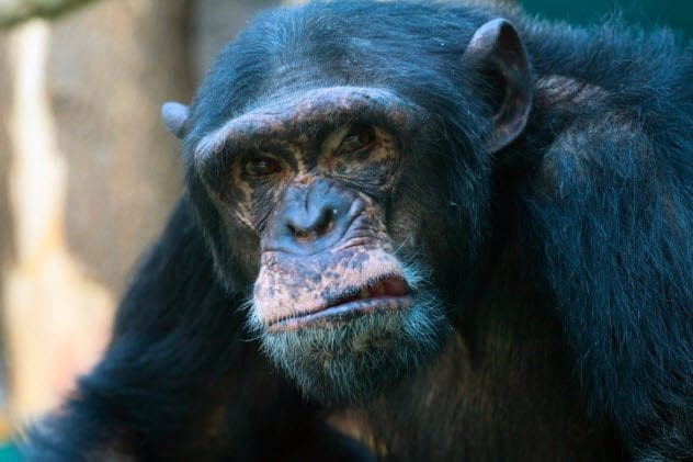 10a-chimp-serial-killer-153484620