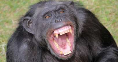 feature-6a-angry-chimp-122203715