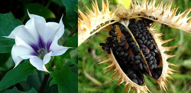 Datura_stramonium_flower