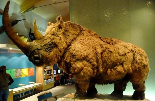 Pictures-of-Woolly-Rhino