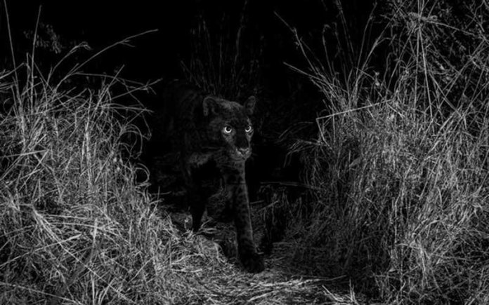 Rare Black Leopard Caught on Camera in Kenya for First Time in 100 Years
