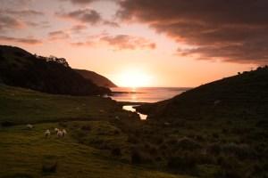 sheep coromandel fletchers bay