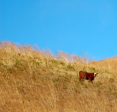 cow on hilltop