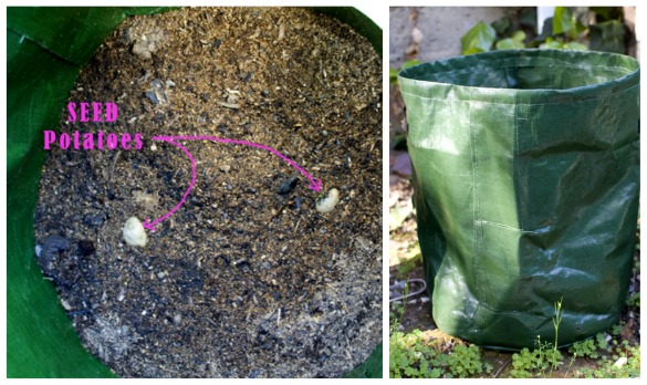 planted seed potatoes