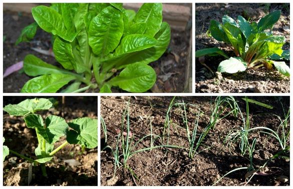 baby veggie plants