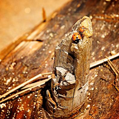 ladybugs on log
