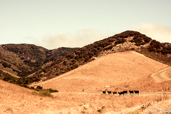 cows at Ranch