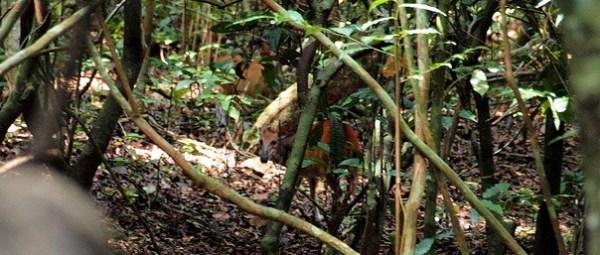 Cephalophus ogilbyi