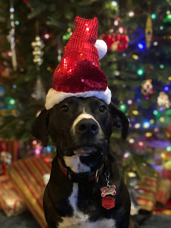 Adorable dog in a Santa hat in front of a Christmas tree