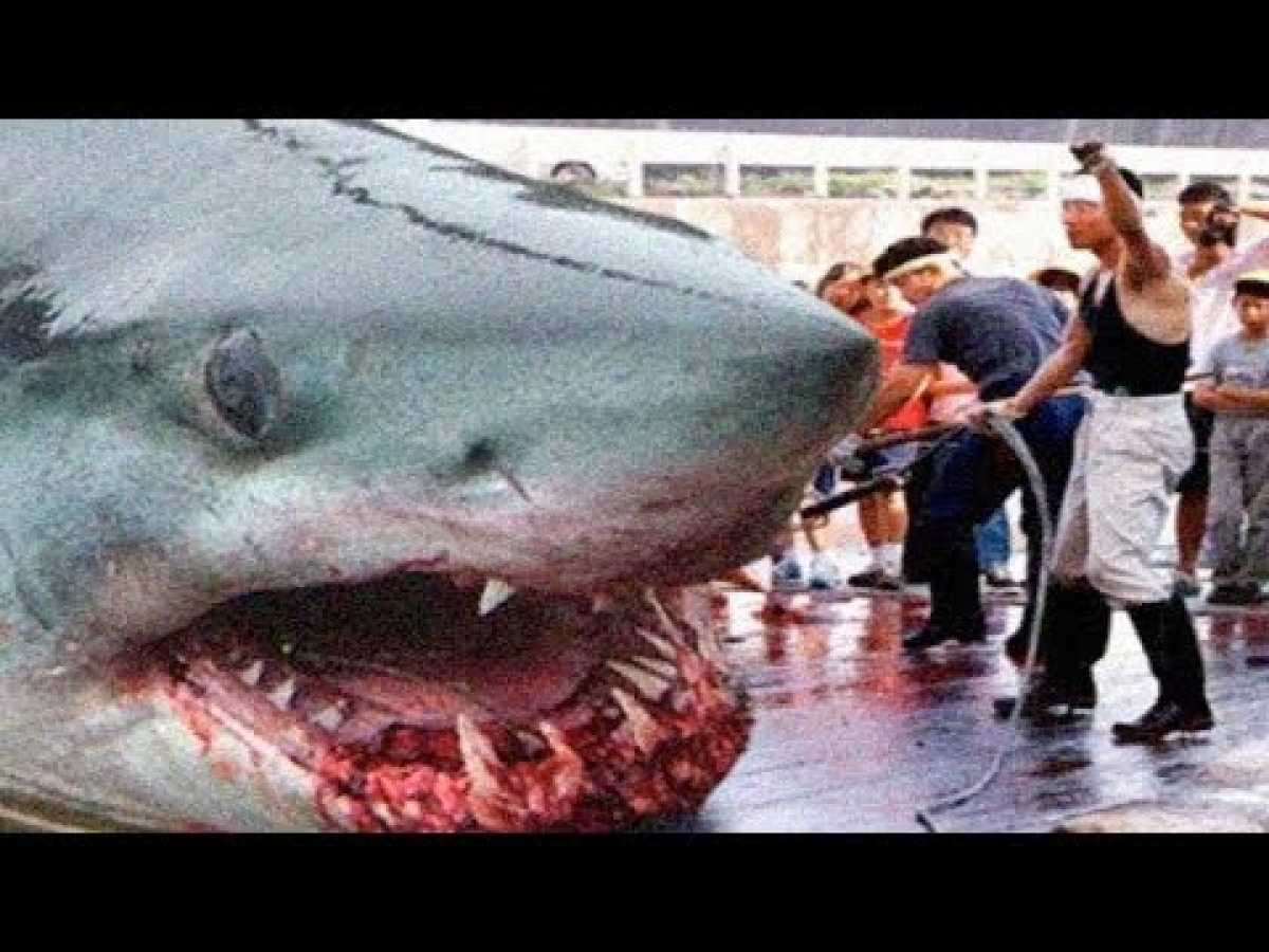 Megalodon Sharks Factss And Sightings
