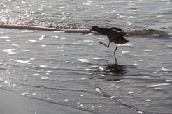 A dancing shorebird in the sparkling swash. Credit: S. Johnson