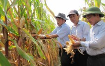 genetically-modified-gm-maize-on-trial-cultivation-at-a-farm-in-vietnam-more-and-more-experts-are-concerned-about-the-harmful-consequences-of-gm-crops-and-vietnams-plans-to-cultivate-them-on-