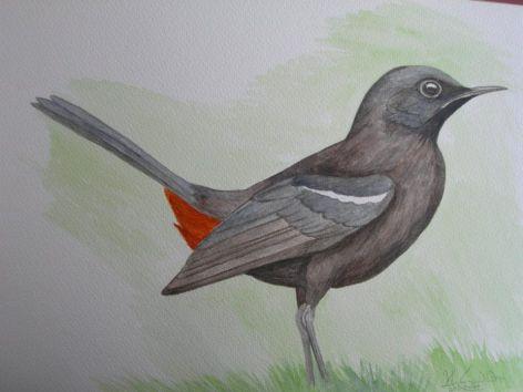 Black Robin -male