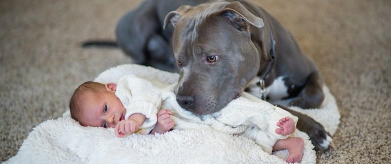 Image result for pit bull