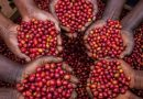 Farmers in Pain as Coffee Worth Millions of Shillings Stolen in Suspected Inside Job