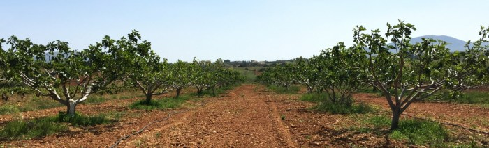 Fig Trees in Vravrona Area