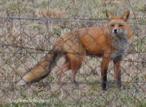 FoxFoxesWildAnimalRedStalkingBirdsHunting1