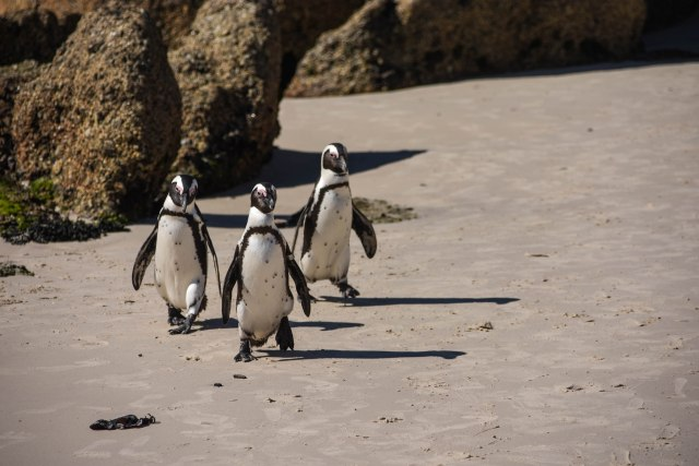 CoverMore_Lisa_Owen_South Africa_Penguins Trio