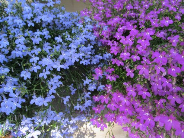 japanese flowers 6