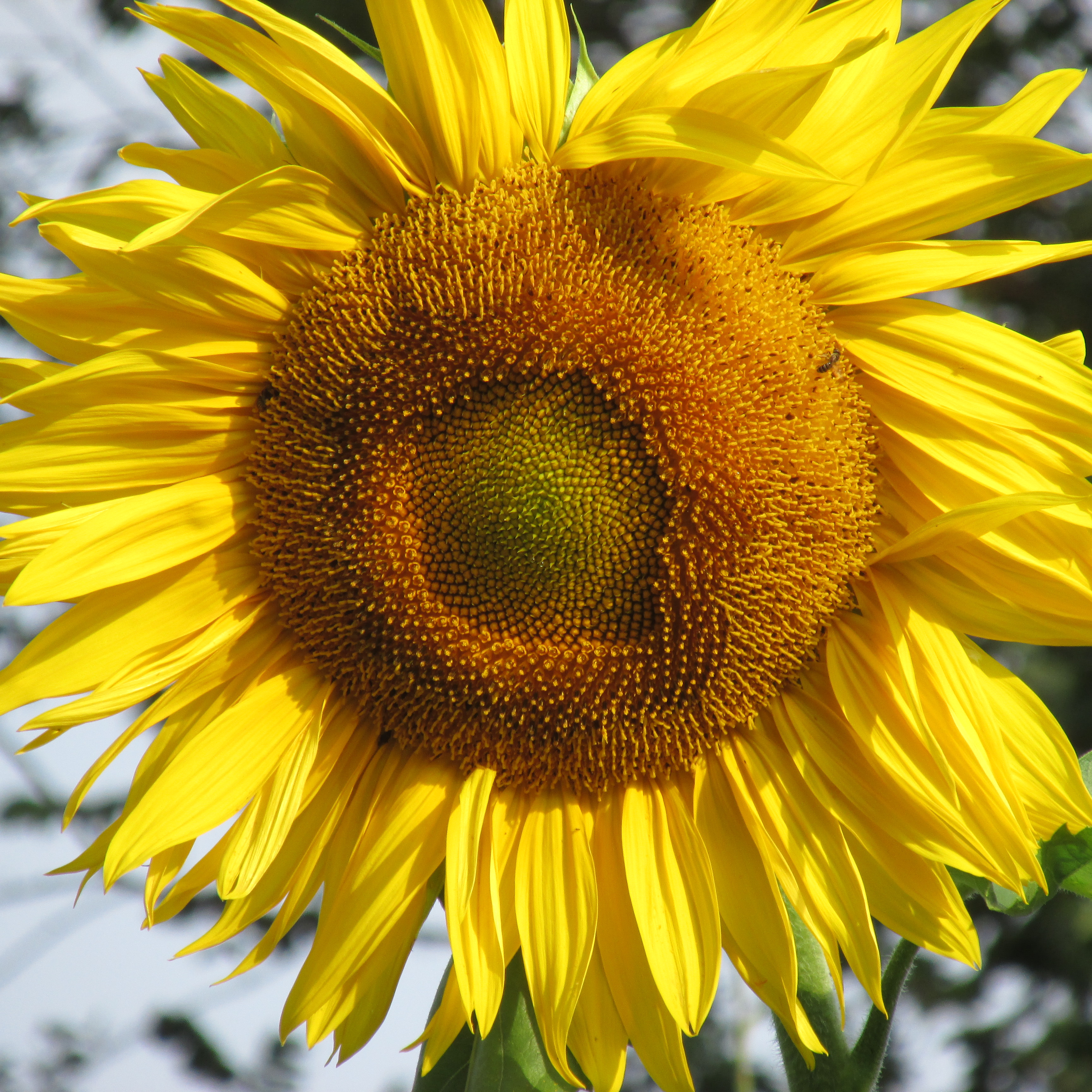 parts of a sunflower diagram cruise ship flower pictures to pin on pinterest
