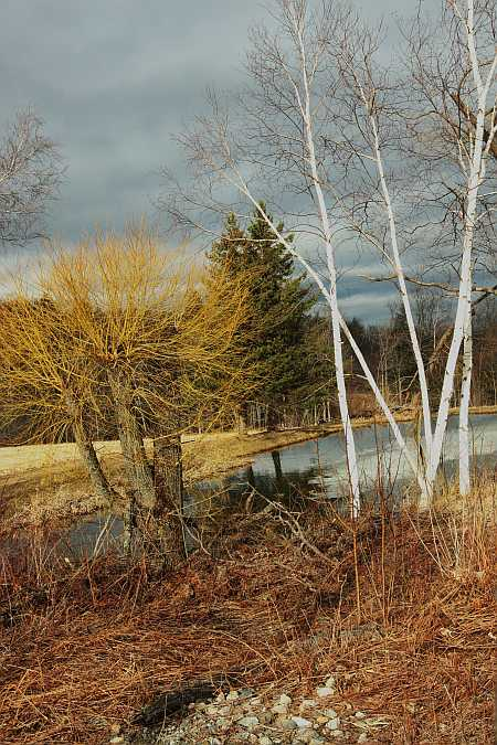 pond with birches
