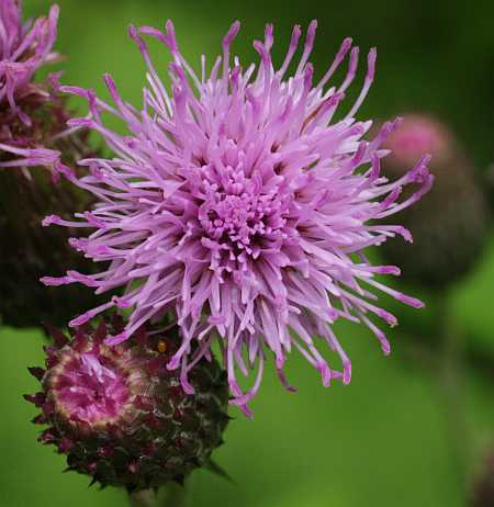 The REAL Canadian Thistle