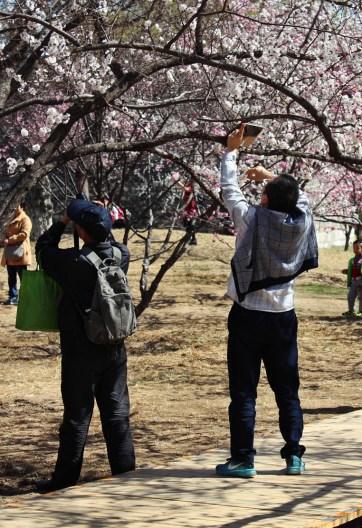Kirschblüten machen aus Hängeköpfen Hans-Guck-in-die-Lufts