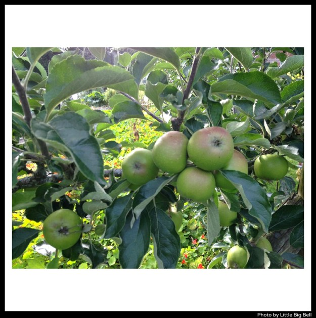 Apples-at-Pythouse-walled-gardens-Little-Big-Bell